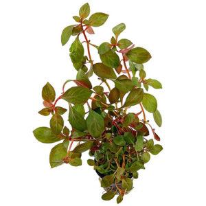 ludwigia-rubin500