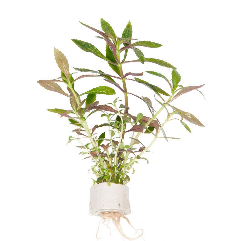 Tropica Mini plantje