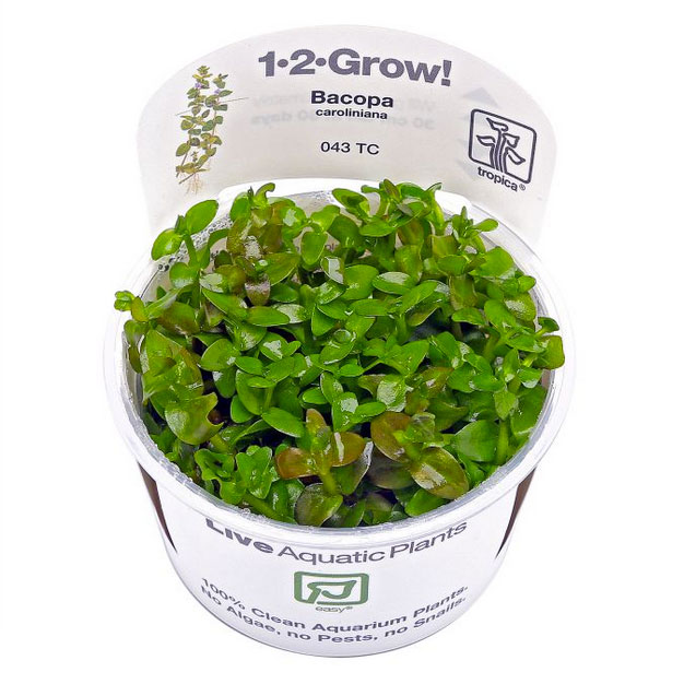 1-2-grow Bacopa