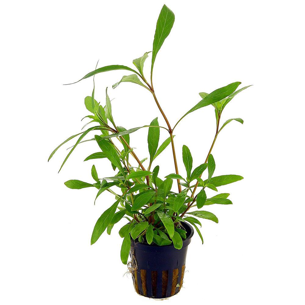 hygrophila-corymbosa-siamensis-53b-pot