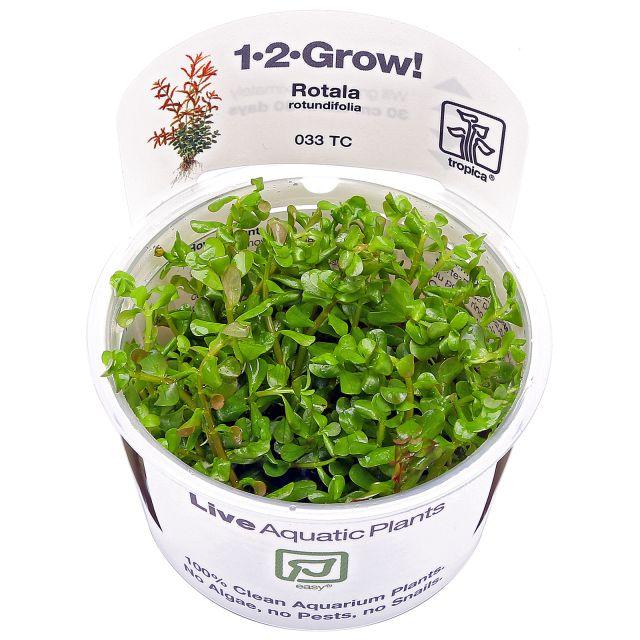 rotala-rotundifolia-1-2-grow